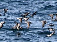 Fork-tailed Storm-Petrels, part of the 1400 birds. 30 September 2006. Photo by Jay Gilliam