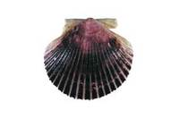 Argopecten purpuratus, Scallop, Peruvian scallop