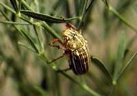 Polyphylla decemlineata - Striped June Beetle