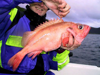 Sebastes marinus, Ocean perch: fisheries, gamefish