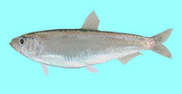 Clupeonella cultriventris, Black Sea sprat: fisheries