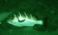 Plectorhinchus playfairi, Whitebarred rubberlip: fisheries, gamefish