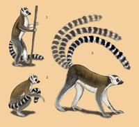 Image of: Lemuridae (true lemurs)
