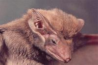Image of: Taphozous melanopogon (black-bearded tomb bat)