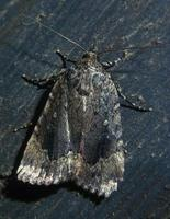 Image of: Amphipyra pyramidoides (copper underwing)