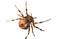 Image of: Araneus diadematus