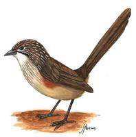 Image of: Amytornis striatus (striated grasswren)