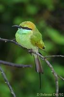 Image of: Merops orientalis (green bee-eater)