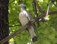 Common Wood Pigeon - Columba palumbus