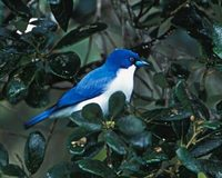 Blue Vanga (Cyanolanius madagascarinus) photo