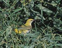 Golden Oriole (Oriolus oriolus) photo