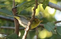 Yellow-throated Wood-Warbler - Phylloscopus ruficapillus