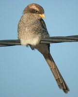 Yellow-billed Shrike - Corvinella corvina