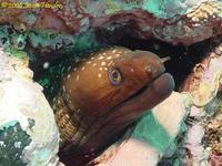 Saw Tooth Moray (Gymnothorax prionodon)
