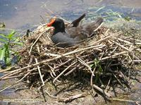 Dusky Moorhen on nest. Brisbane, Queensland. December 2004. Photo © Barrie Jamieson