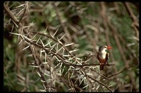 : Halcyon leucocephala; Grey-headed Kingfisher