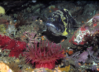 : Sebastes chrysomelas; Black-and-yellow Rockfish;