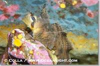 ...Image 13703, Sailfin sculpin., Nautichthys oculofasciatus, Phillip Colla, all rights reserved wo