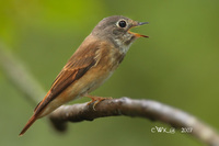 Ferruginous Flycatcher ( Muscicapa ferruginea )