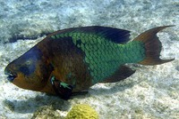 Scarus guacamaia, Rainbow parrotfish: fisheries, aquarium