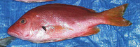 Lutjanus buccanella, Blackfin snapper: fisheries