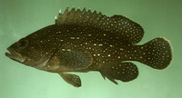 Epinephelus polystigma, White-dotted grouper: fisheries