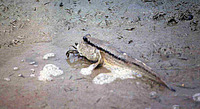 Periophthalmodon schlosseri, Giant mudskipper: fisheries