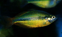 Melanotaenia herbertaxelrodi, Lake Tebera rainbowfish: aquarium