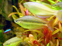 Melanotaenia splendida splendida, Eastern rainbow fish: aquarium