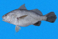 Stellifer mancorensis, Smooth stardrum: