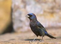 Varied Bunting (Passerina versicolor) photo