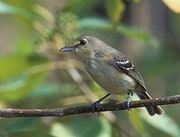Thick-billed Vireo (Vireo crassirostris) photo