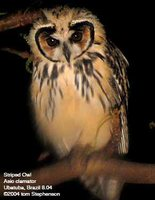 Striped Owl - Pseudoscops clamator