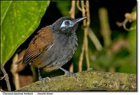 Chestnut-backed Antbird - Myrmeciza exsul