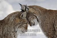 Two lynxes in love in winter European lynx stock photo