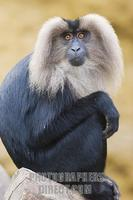 ...Germany , DEU , Muenster , 2007Jun05 : A lion tailed macaque ( Macaca silenus ) sitting in the M