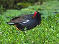 'Alae 'Ula or Hawaiian Gallinule (Gallinula chloropus sandvicensis)