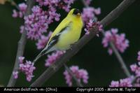 American Goldfinch (male) - Ohio