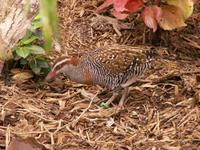 Philippine Banded Rail