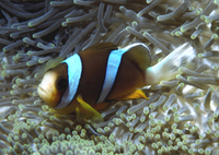 : Amphiprion clarkii; Yellowtail Clownfish
