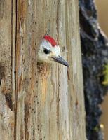 : Picoides albolarvatus; White-headed Woodpecker