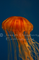 : Chrysaora melanaster; North Pacific Sea Nettle