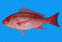 Lutjanus peru, Pacific red snapper: fisheries