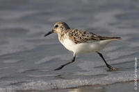 Image of: Calidris alba (sanderling)
