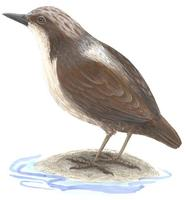 Image of: Cinclus leucocephalus (white-capped dipper)