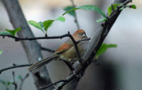 Image of: Paradoxornis webbianus (vinous-throated parrotbill)