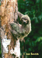 Bradypus variegatus - Brown-throated Three-toed Sloth