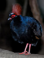 Image of: Rollulus rouloul (crested partridge)