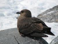 Image of: Stercorarius maccormicki (south polar skua)