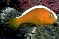 Image of: Amphiprion sandaracinos (orange anemonefish)